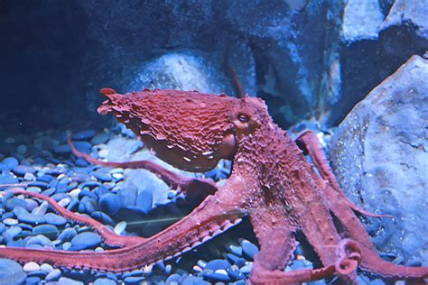 Octopuses are so weird they can even ignore their own